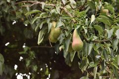 Home grown pears royalty free stock photo