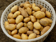 Home grown potatoes Royalty Free Stock Photos