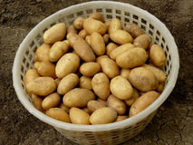 Home grown potatoes Stock Image