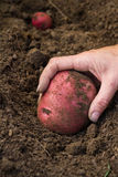 Home grown potatoes Royalty Free Stock Images