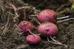 Home grown potatoes Royalty Free Stock Image