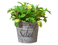 Home Grown Salad Crop. Salad leaves growing in old bucket Royalty Free Stock Images
