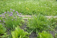 Home grown salad and herbs. Home growing chives, rucola salad and romaine lettuce in garden patch royalty free stock photo