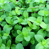 Home Grown Spear Mint Royalty Free Stock Images