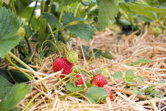 Home Grown Strawberries, fruit and vegetable garden. Royalty Free Stock Photography