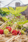 Home Grown Strawberries, fruit and vegetable garden. Royalty Free Stock Photo