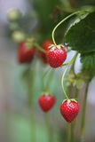 Home Grown Strawberries Royalty Free Stock Photography