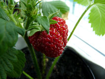 Home Grown Strawberry. Very Tasty Home Grown Strawberry Royalty Free Stock Photo
