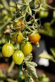 Home grown tomato Stock Photography