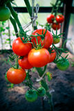 Tomatoes home grown  Royalty Free Stock Photography