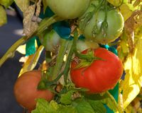 Home grown tomatoes on the vine Royalty Free Stock Image
