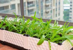 Home grown vegetable on balcony of apartment building Royalty Free Stock Photo