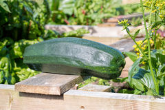 Home grown zucchini in vegetable garden. Marrow Courgette Plant Royalty Free Stock Photography
