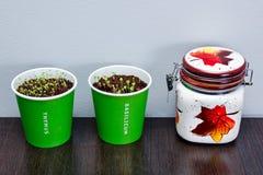 Home herbs seedlings Stock Images