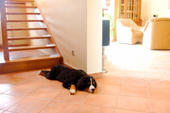 Home interior. And dog lying next to stairs Royalty Free Stock Images