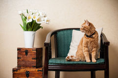 Home interior, cat. Sitting in an armchair, a wall and a bouquet of white tulips Royalty Free Stock Photo
