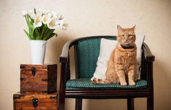 Home interior, cat. Sitting in an armchair, a wall and a bouquet of white tulips Royalty Free Stock Photos