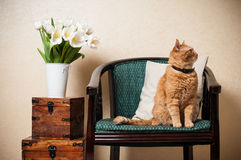 Home interior, cat. Sitting in an armchair, a wall and a bouquet of white tulips Stock Images