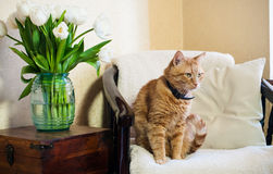Home interior, cat. Sitting in an armchair, a wall and a bouquet of white tulips Stock Photography