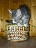 Home the kitten. The domestic cat is a mammal of the family Felidae of Carnivora. Earlier, the domestic cat was often considered as a separate species. From royalty free stock images