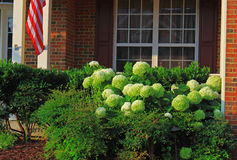 Home Landscaping. With white hydrangea flowers and evergreen shrubs in the morning royalty free stock photography
