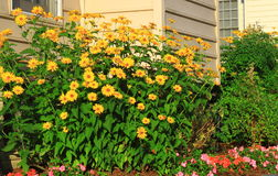 Home Landscaping. With yellow daisy flowers and ground cover annuals royalty free stock photography