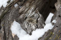 Home at last. A screech owl sitting near nesting site in the snow Stock Images