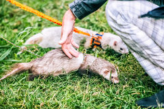Home little raccoon with hands of woman Stock Photography