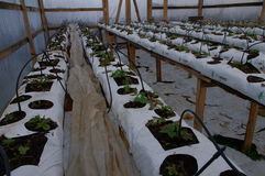 Home made greenhouse and its interior. Fresh new strawberry plants just starting to grow inside the greenery Stock Image