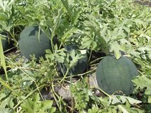 Home-made watermelons in the garden royalty free stock photo
