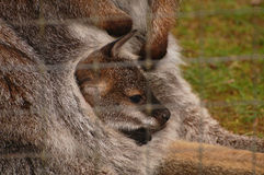 At home with Mama. A joey or baby kangaroo rests comfortably in his mother's pouch on an exotic animal farm near Arlington, Washington stock images