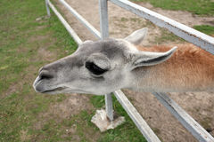 Home mammal behind the fence Stock Photo