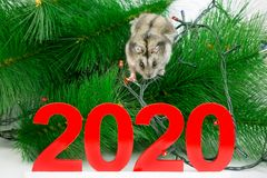 Home mouse on the branches of the Christmas tree. A white rat hamster on a branch of New Year`s spruce among the garlands around  number 2020 stock photo