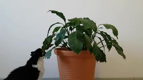Home naughty cat nibbles home flower. Accustom the cat to the home life. The cat destroys the comfort.  stock video