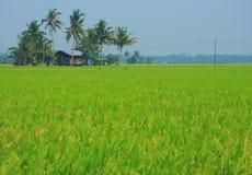 HOME no campo de almofada do arroz Imagens de Stock Royalty Free