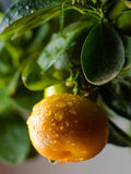 Home Orange Tree. Fresh Fruir of home orange tree Royalty Free Stock Photos