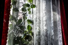 Home ordinary window with transparent white tulle and red satin curtains. Sunny bright day, winter outside. On the window is a gre. En flower Hibiscus plant. The stock photos