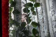 Home ordinary window with transparent white tulle and red satin curtains. Sunny bright day, winter outside. On the window is a gre. En flower Hibiscus plant. The stock photography