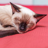Home pedigreed cat is resting on the couch Stock Photos