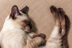 Home pedigreed cat is resting on the couch Stock Photo