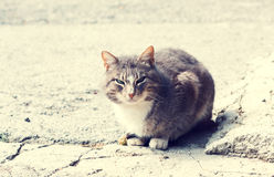 Home pedigreed cat sitting on the floor Stock Image