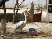 home pelikan Royaltyfria Bilder
