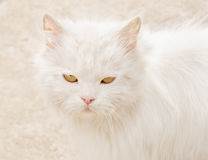 Home Persian cat with white long hair close-up and not happy with the eyes Royalty Free Stock Image