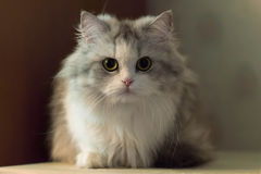 Fullface photo of lying cat Royalty Free Stock Photos
