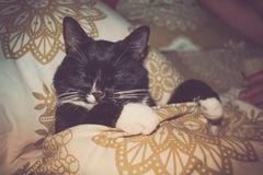 Home pet black and white cat is sleeping in bed next to person. stock photography
