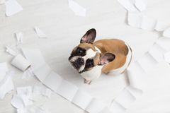 Home pet destruction on white bathroom floor with some piece of toilet paper. Pet care abstract photo. Small guilty dog with funny. Face royalty free stock photography