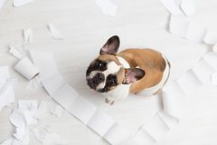 Home pet destruction on white bathroom floor with some piece of toilet paper. Pet care abstract photo. Small guilty dog with funny. Face stock photos
