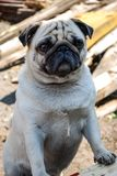 Home pet dog pug royalty free stock photo