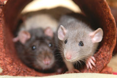 Home pet rat. Zoom sweet nose of the home pet rat Stock Images