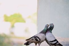 Home Pigeon couples in Love, Romance, Valentine,